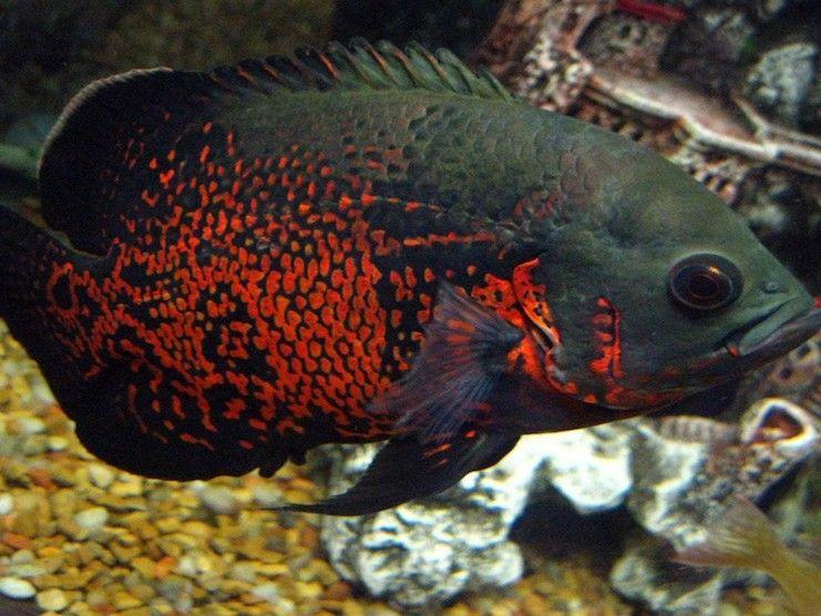 аквариумная рыбка цихлида фото