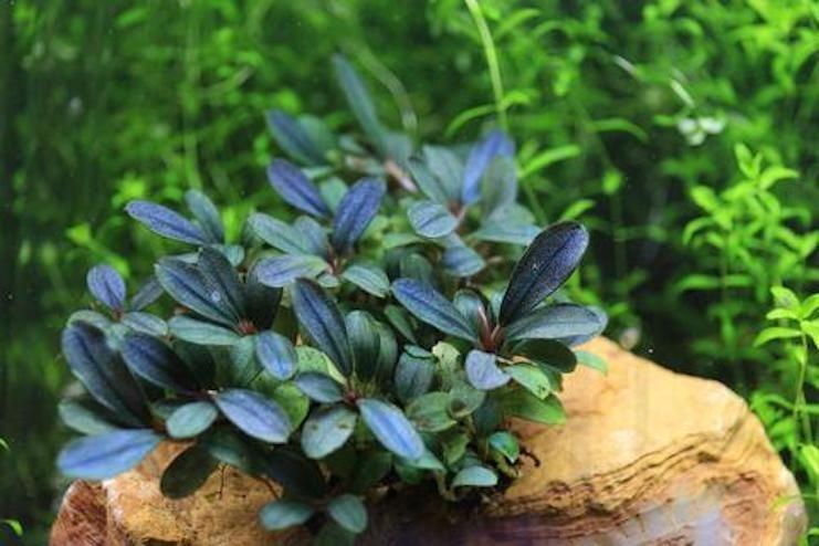 Буцефаландры (Bucephalandra)