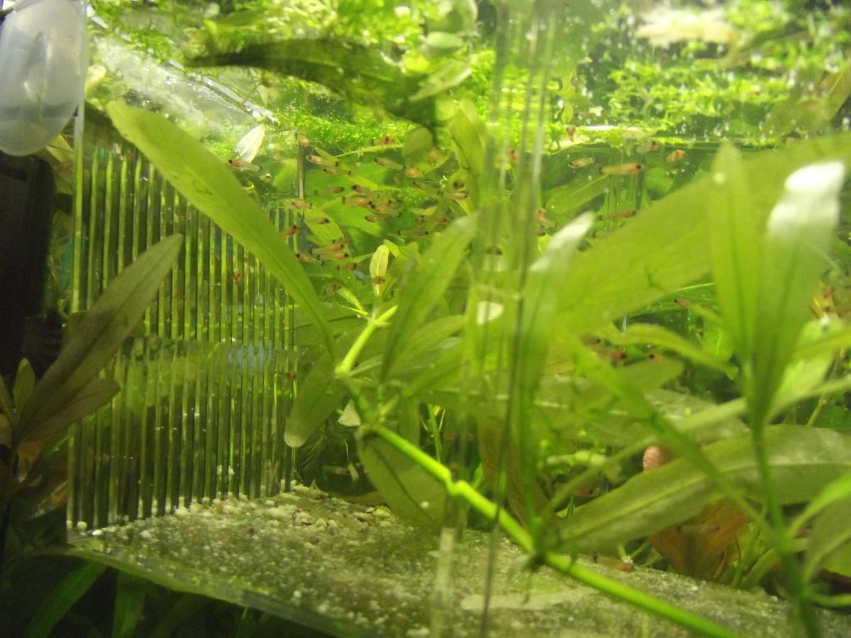 МЕЧЕНОСЕЦ: аквариумная рыбка меченосец - Аквариумный сайт