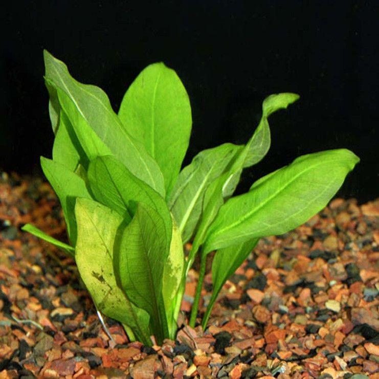 Эхинодорус Тропика (Echinodorus parviflorus tropica)