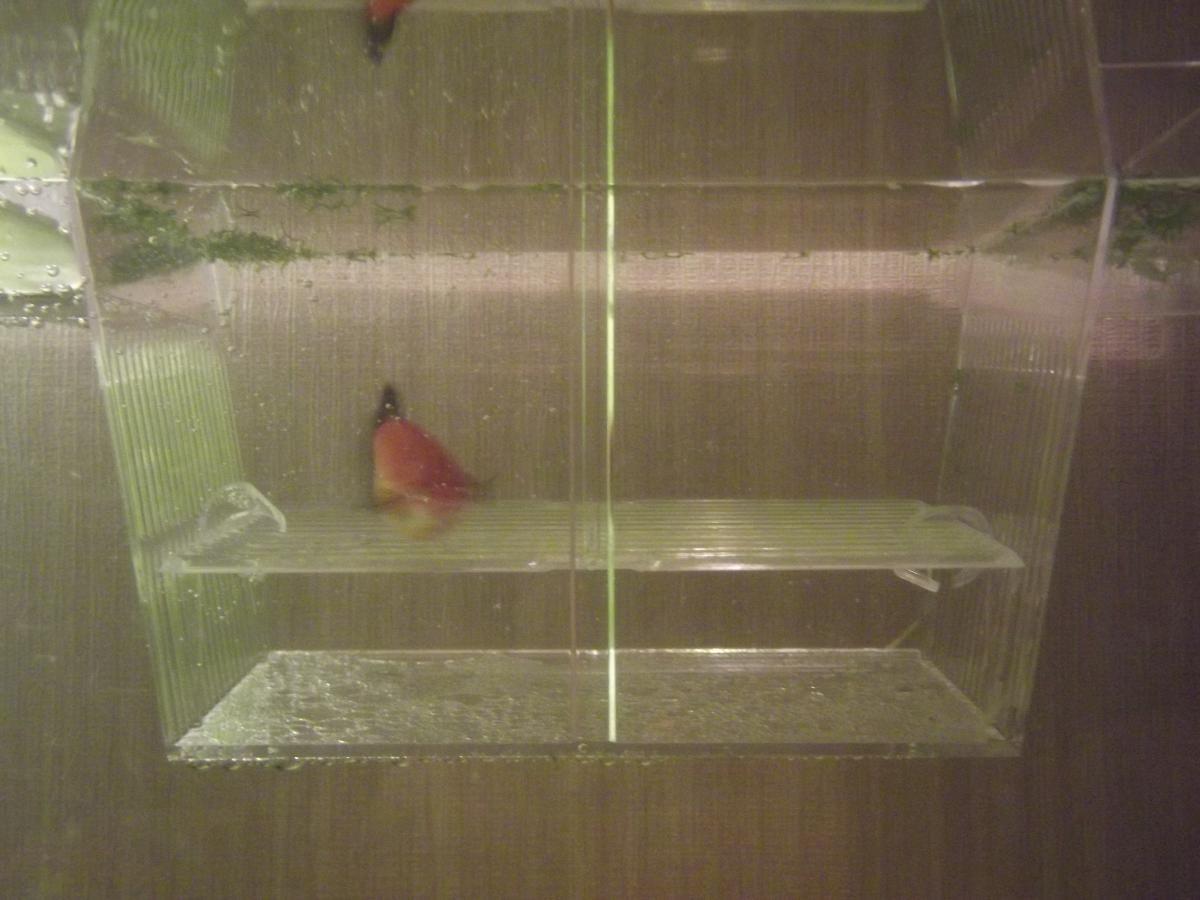 Отсадник для беременных рыбок своими руками