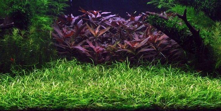 Эхинодорус Нежный «рубра» и «зеленый»