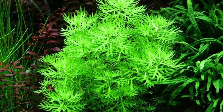 Хоттония палюстрис (Hottonia palustris)