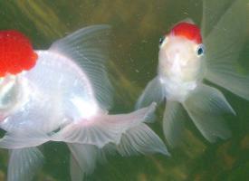 Золотая рыбка - Оранда (Красная шапочка)
