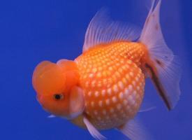Золотая рыбка - Жемчужина