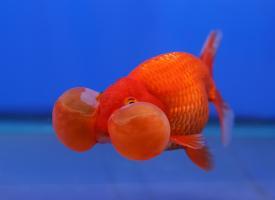 Золотая рыбка – Водяные глазки