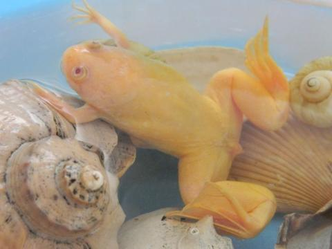 Белая шпорцевая лягушка как домашний питомец