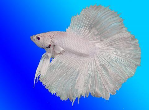 Аквариумные рыбки петушки