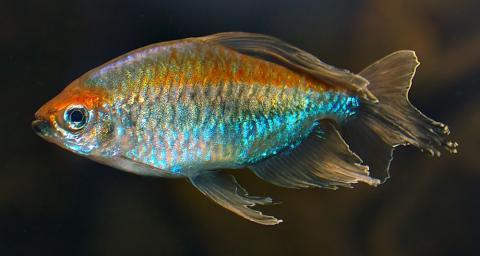 Конго голубой