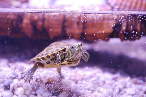 Каким должен быть аквариум для черепахи?
