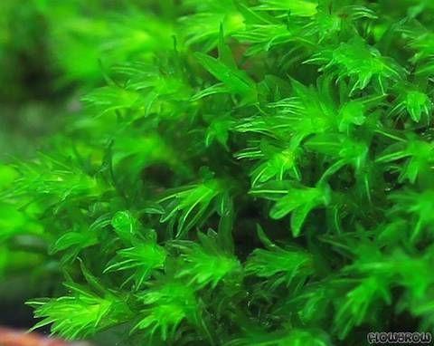 Миллиметр (Barbula sp. Millimeter moss) водный мох