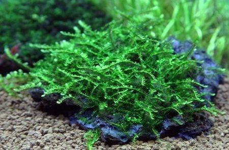 Ползучий мох (Creeping Moss)