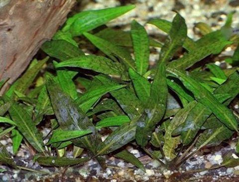 Криптокорина родственная или аффинис (Cryptocoryne affinis)