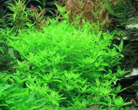 Повойничек трехтычинковый или элатина триандра (Elatine triandra)