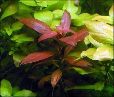 Людвигия перуанская или красная звезда (Ludwigia Peruensis)