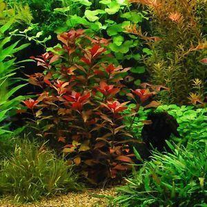 Людвигия красная или ползучая (Ludwigia Repens)