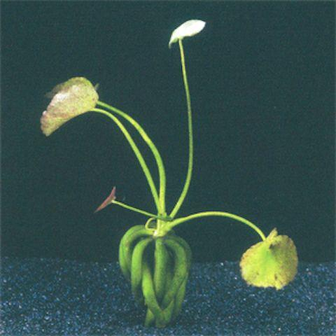 Нимфоидес или водный банан (Nymphoides aquatica)