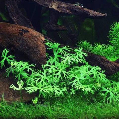 Водный лютик или ранункулус инундатус (Ranunculus inundatus)