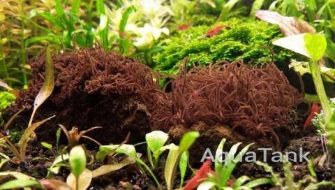 Thorea hispida - красная водоросль