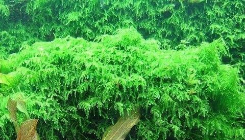 Плачущий мох (Vesicularia ferriei Weeping)