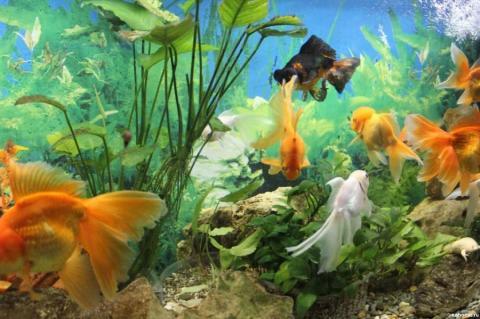 Золотые рыбки аквариумные