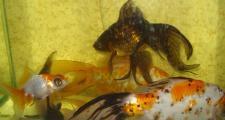 Как поменять воду в 100-литровом аквариуме