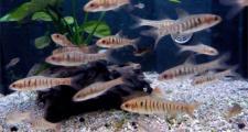 10 самых неприхотливых аквариумных рыбок