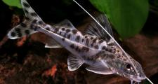 Обустройство аквариума для сомовых