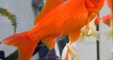 Обучение аквариумных рыбок