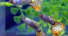Гуппи - лучший выбор начинающего аквариумиста