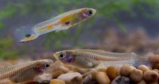 Как правильно кормить мальков рыб