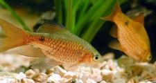 Золотистые Барбусы в аквариумном мире