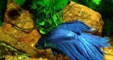 Петушок – бойцовая рыбка