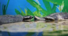 Необычные питомцы в аквариуме