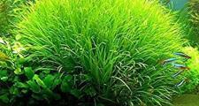 Бликса японская или бликса японика (blyxa japonica)