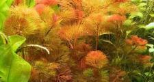 Кабомба фурката или красноватая (Cabomba Furcata)