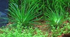 Эриокаулон синериум (Eriocaulon sp. «Cinereum»)
