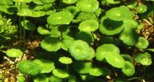 Гидрокотила белоголовая или щитолистник (Hydrocotyle leucocephala)