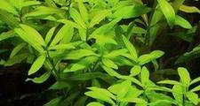 Гигрофила многосеменная (Hygrophila polysperma)