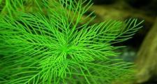 Перистолистник матогросский зеленый (Myriophyllum matogrossense Green)