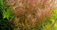 Ротала ратундифолия (Rotala rotundifolia)