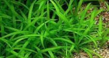 Сагиттария карликовая или стрелолист (Sagittaria subulata)